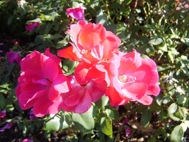 Rose picture spring hilll tn landscaping page