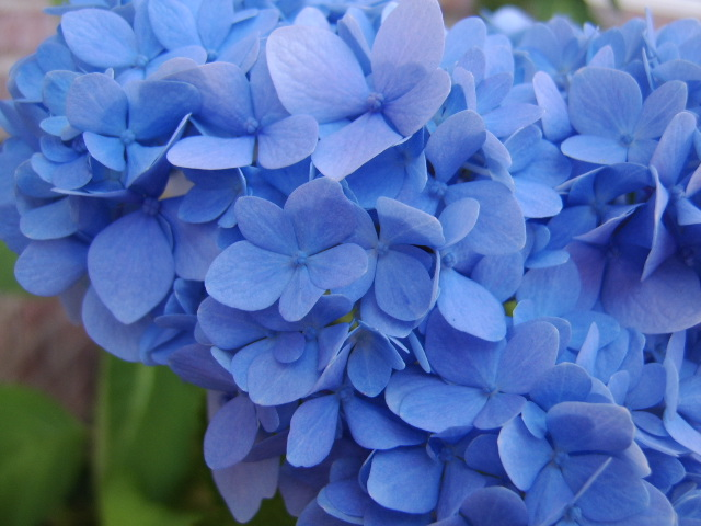 Blue Hydrangea spring hill tn landscaping page